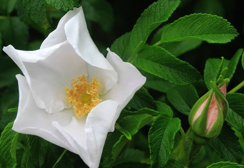 White rose with rose bud